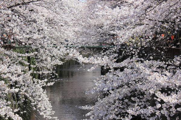 2012年4月桜1-2.JPG