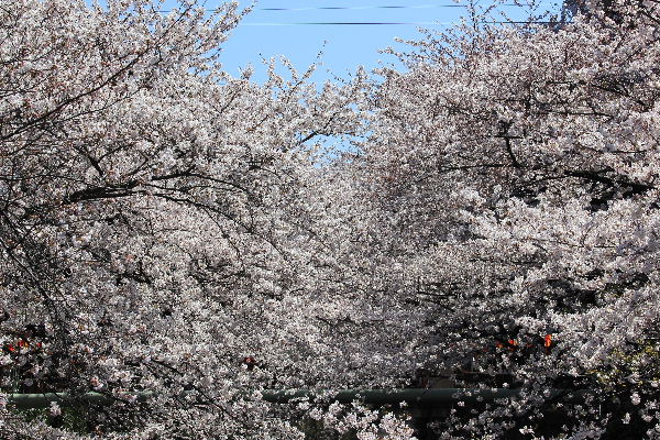 2012年4月桜1-3.JPG