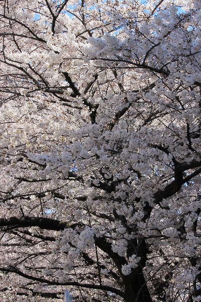 2012年4月桜1-4.JPG